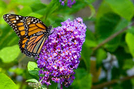 butterfly flower flowers that attract butterflies butterfly garden flowers hgtv