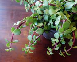 Easy Care Indoor Plants Portulacaria Care U2013 Growing Elephant Bush Succulents In The Home