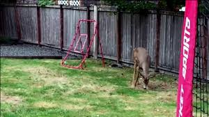 buck in our backyard youtube