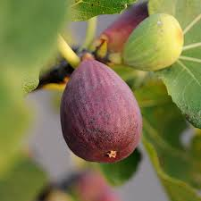 Fig Flower - brown turkey fig for sale fast growing trees
