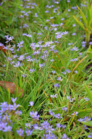 planting native grass seed blue eyed grass wild flower seed blooms in summer a utah native