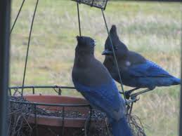 four hills of squash the great backyard bird count