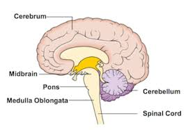 What Portion Of The Brain Controls Respiration What Is The Medulla Definition Function U0026 Location Video