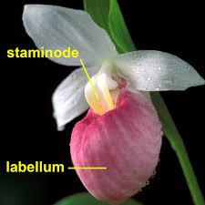 slipper flower meet the the slipper orchids