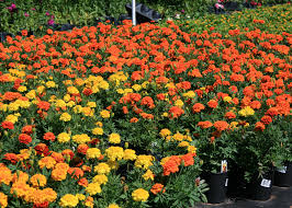 mums flower mari mums are fall flowering marigolds mississippi state