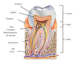 Human Anatomy Pic Human Tooth Wikipedia