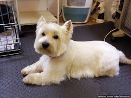 images of westie hair cuts collars and cuts dog grooming dog grooming in edinburgh scotland