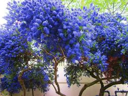 18 best blue trees images on blue trees beautiful and