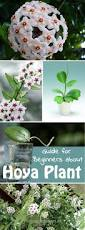 the complete guide for beginners about hoya plant hoya plants