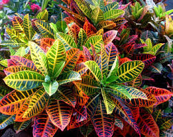 tropical croton plant yellow croton leaves tropical
