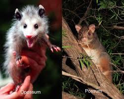 Angry Koala Meme - opossum vs possum matthewgates co