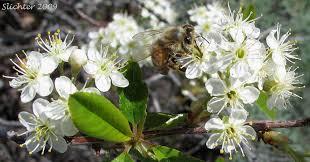 douglas maple acer glabrum pacific northwest native tree prunus emarginata flowers bitter cherry the natives are