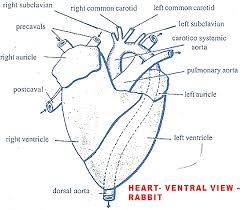 External Heart Anatomy Circulatory System Of Rabbit Heart Structure Function Biozoom