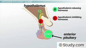 human endocrine system study guide videos u0026 lessons study com