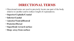 Directional Terms Human Anatomy Introduction To Human Anatomy And Physiology