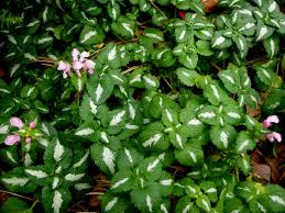 native plant landscaping in new england perennial shade gardens epimedium x versicolor u0027sulphureum u0027 carolyn u0027s shade gardens