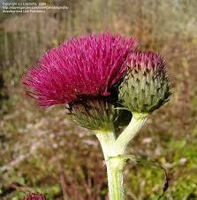 plantfiles pictures ornamental thistle atropurpureum cirsium