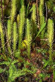 Plant Diseases Wikipedia - lycopodiophyta wikipedia