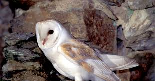 Barn Owls Habitat Duhallow Raptor Conservation Project Barn Owl