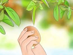 how to grow kiwifruit 13 steps with pictures wikihow