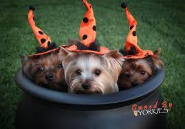 Yorkie Halloween Costumes Yorkie Halloween Safety Tips U2013 Yorkie Splash Shine Blog