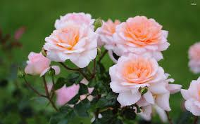 Fragrant Rose Plants Fragrant Plants For The Garden The Sunday Mail