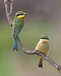 bee eater merops pusillus pair of birds on branch the