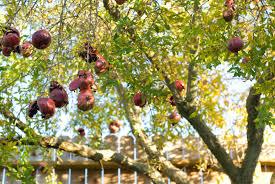 pomegranate tree lovetoknow