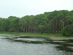 florida native plants for sale south florida slash pine for sale wilcox nursery