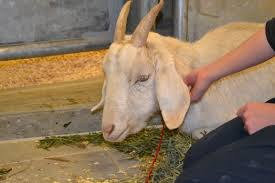 anemia in goats causes symptoms and treatment eden hills
