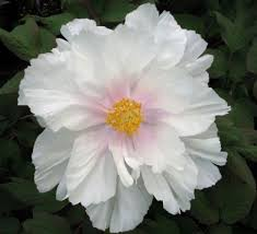pianese flowers caring for tree peonies how to get the best from your tree peony