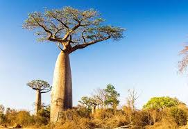 the baobab tree africa s iconic tree of its exceptional fruit