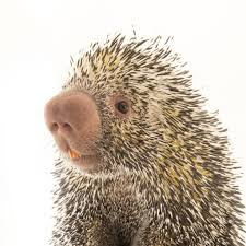 porcupines national geographic