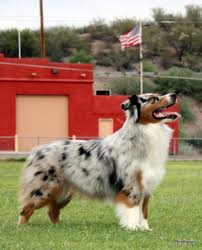 australian shepherd queen creek az australian shepherd arizona multi nationals top blue ribbon breeder