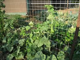 el cultivo de pepino necesita de un sistema de tutoreo para que la