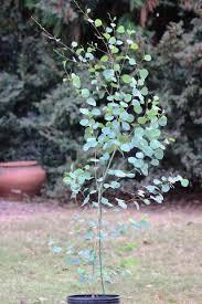 shop eucalyptus plants saplings for sale southerneucs