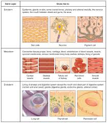 Survey Of Human Anatomy And Physiology Types Of Tissues Anatomy And Physiology
