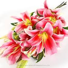 Pink Lily Flower Lilies Direct From Our Own Farms