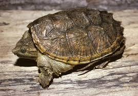 Texas Map Turtle Reptile Identification Blanco Water Atlas