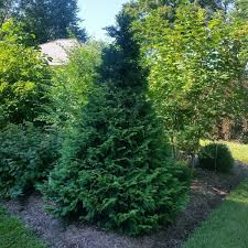 false cypress shrubs for sale nature nursery