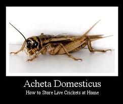 Crickets Meme - 16 best crickets images on pinterest crickets bugs and insects