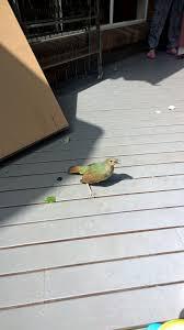 unidentified bird in bright vic birds in backyards