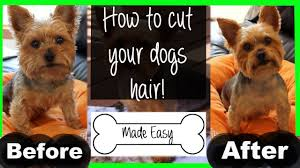 how to cut a dog u0027s hair puppy cut yorkie youtube