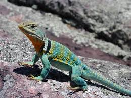 Seeking Lizard Of Lizard