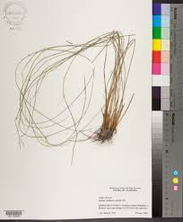 juncus coriaceus species page apa alabama plant atlas this specimen has a photo