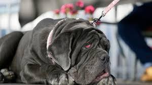 Ugliest World U0027s Ugliest Dog News Video And Gossip Deadspin