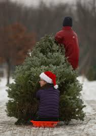 picking your own at krueger u0027s christmas tree farm star tribune
