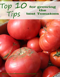 10 growing tips for tomatoes stoney acres