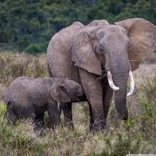 apple wallpaper elephant baby and mother elephant africa 4k hd desktop wallpaper for 4k