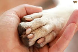 identifying and treating paw infections in the dog pets4homes